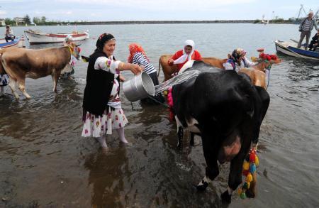 İnekler denizde yıkandı, yaylaya hazırlandı